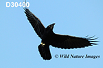 Corvus-corax Common-raven