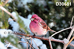 Carpodacus-purpureus Purple-Finch