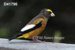 Coccothraustes-vespertinus Evening-Grosbeak