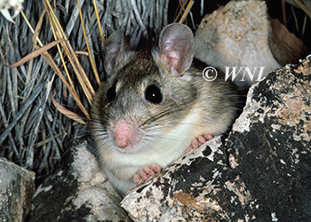 Cricetidae Hamsters Voles New-World-Mice