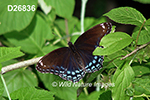 Limenitis-arthemis-astyanax Red-Spotted-Purple