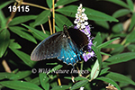 Battus-philenor pipevine-swallowtail
