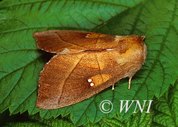 Notodontidae prominent-moths