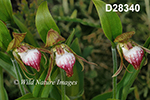 Cypripedium-arietinum